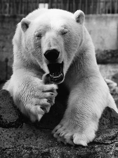 Yawning Polar Bear--Photographic Print