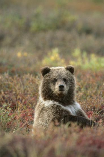 Yearling Brown Bear Cub Sits in Autumn Tundra in Ak Fall Denali Np-Design Pics Inc-Photographic Print