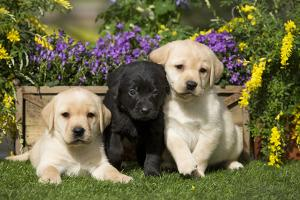 Yellow and Black Labrador Puppies