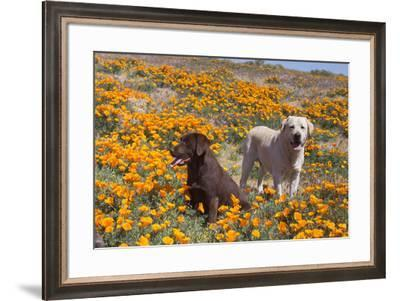 Yellow and Chocolate Labrador Retrievers in a field of poppies-Zandria Muench Beraldo-Framed Photographic Print
