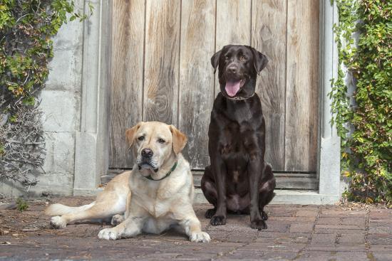 Yellow and Chocolate Labrador Retrievers sitting on rock patio-Zandria Muench Beraldo-Premium Photographic Print