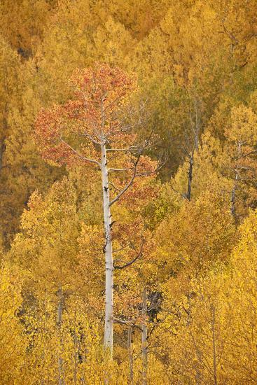 Yellow and Orange Aspen in the Fall, Uncompahgre National Forest, Colorado, U.S.A.-James Hager-Photographic Print
