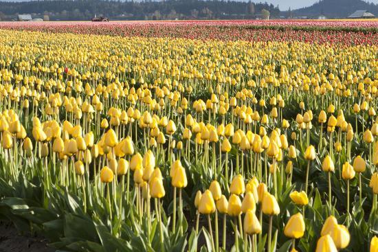 Yellow and Orange Tulips II-Dana Styber-Photographic Print