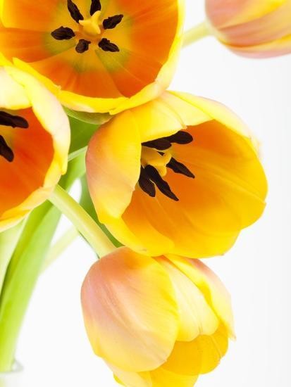 Yellow and orange tulips-Frank Lukasseck-Photographic Print
