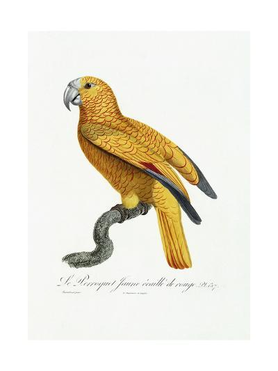 Yellow and Red Parrot, C.1801-05-Jacques Barraband-Giclee Print