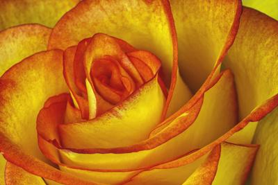 https://imgc.artprintimages.com/img/print/yellow-and-red-rose_u-l-q13asvx0.jpg?p=0