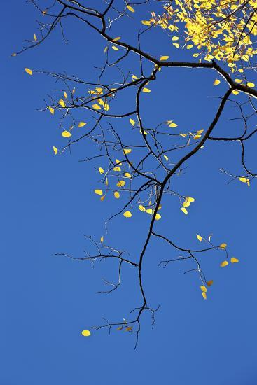 Yellow Aspen Leaves Against a Blue Sky in the Fall, Grand Mesa National Forest, Colorado, Usa-James Hager-Photographic Print