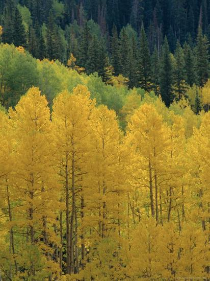 Yellow Aspens, Colorado, USA-Jean Brooks-Photographic Print