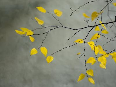 Yellow Autumnal Birch (Betula) Tree Limbs Against Gray Stucco Wall-Daniel Root-Premium Photographic Print