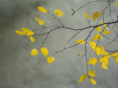 https://imgc.artprintimages.com/img/print/yellow-autumnal-birch-betula-tree-limbs-against-gray-stucco-wall_u-l-q10r7w80.jpg?p=0