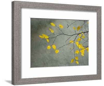 Yellow Autumnal Birch (Betula) Tree Limbs Against Gray Stucco Wall-Daniel Root-Framed Photographic Print