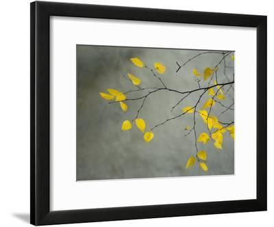 Yellow Autumnal Birch (Betula) Tree Limbs Against Gray Stucco Wall-Daniel Root-Framed Photographic Print