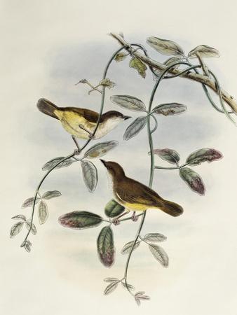 Yellow-Bellied Gerygone (Gerygone Chrysogaster)-John Gould-Giclee Print