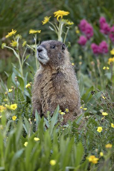Yellow-Bellied Marmot Among Wildflowers, San Juan Nat'l Forest, Colorado, USA-James Hager-Photographic Print