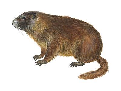 Yellow-Bellied Marmot (Marmota Flaviventris), Mammals-Encyclopaedia Britannica-Art Print