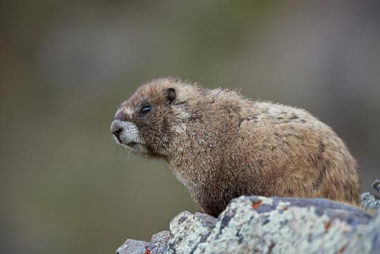 Yellow-bellied marmot (yellowbelly marmot) (Marmota flaviventris), San Juan National Forest, Colora-James Hager-Photographic Print