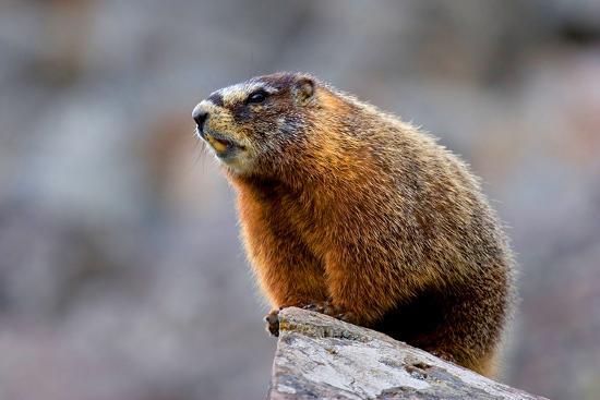yellow-bellied-marmot