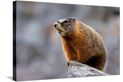 Yellow Bellied Marmot--Stretched Canvas Print
