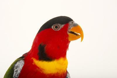 Yellow Bibbed Lory, Lorius Chlorocercus, from a Private Collection-Joel Sartore-Photographic Print