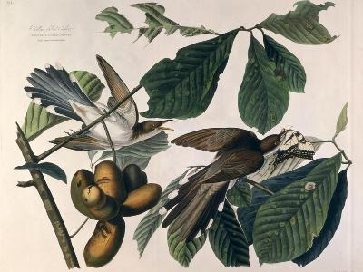 Yellow-Billed Cuckoo, from Birds of America, Engraved by William Home Lizars-John James Audubon-Giclee Print