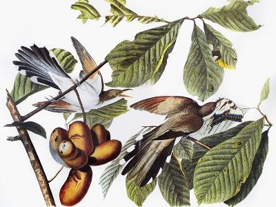 Yellow-Billed Cuckoo-John James Audubon-Giclee Print