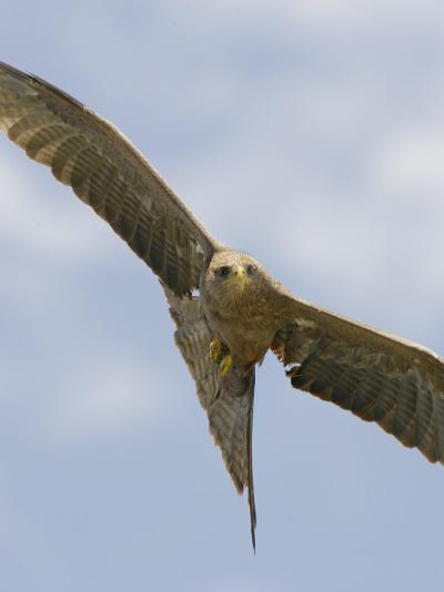 Yellow-Billed Kite in Flight, Milvus Aegyptius, Ngorongoro Crater, Tanzania, Africa-Arthur Morris-Photographic Print