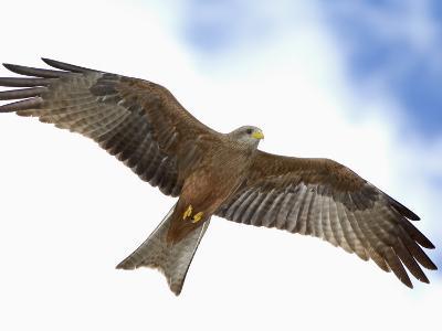 Yellow-Billed Kite in Flight, Milvus Aegyptius, Tanzania, Africa-Arthur Morris-Photographic Print