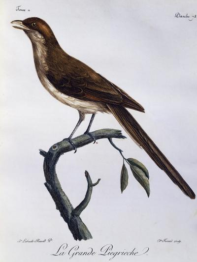 Yellow-Billed Shrike (Corvinella Corvina)--Giclee Print