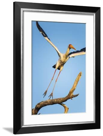 Yellow Billed Stork, Moremi Game Reserve, Botswana-Paul Souders-Framed Photographic Print