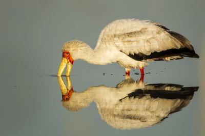 Yellow Billed Stork, Moremi Game Reserve, Botswana-Paul Souders-Photographic Print