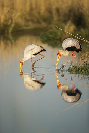 Yellow Billed Storks, Moremi Game Reserve, Botswana-Paul Souders-Photographic Print