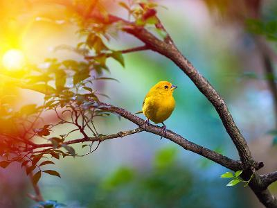 Yellow Bird Sitting on a Branch, Wildlife- seqoya-Photographic Print