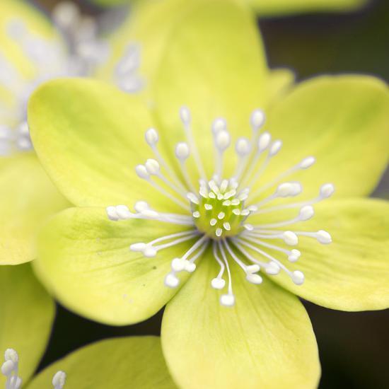 Yellow Blossom--Photographic Print