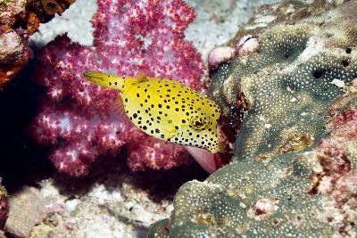 Yellow Boxfish-Georgette Douwma-Photographic Print