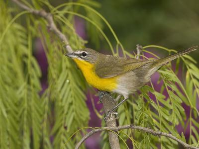 Yellow-Breasted Chat (Icteria Virens) Perching, Rio Grande Valley, Texas-Tom Vezo/Minden Pictures-Photographic Print