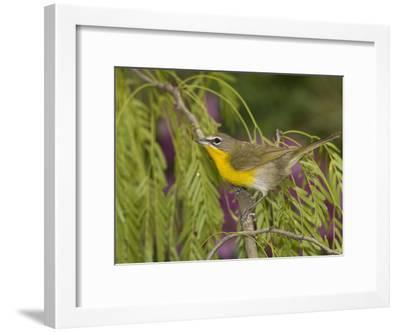 Yellow-Breasted Chat (Icteria Virens) Perching, Rio Grande Valley, Texas-Tom Vezo/Minden Pictures-Framed Photographic Print