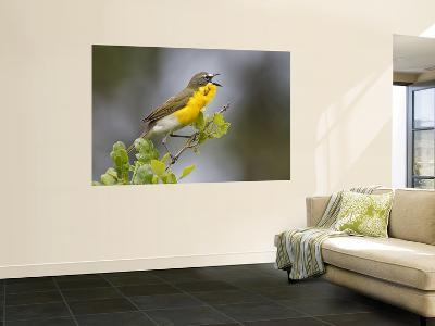 Yellow-Breasted Chat Singing on Breeding Territory, Central Texas, USA-Larry Ditto-Wall Mural