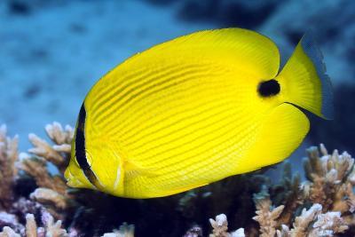 Yellow Butterflyfish-Georgette Douwma-Photographic Print