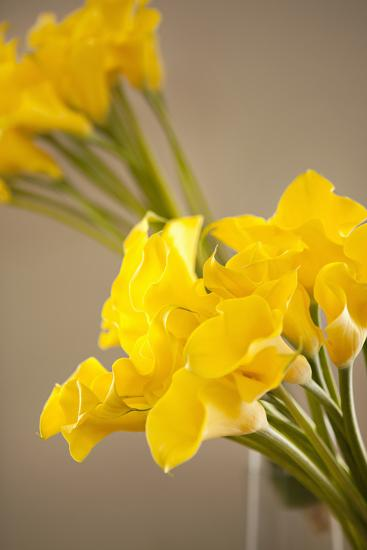 Yellow Calla Lilies-Karyn Millet-Photographic Print