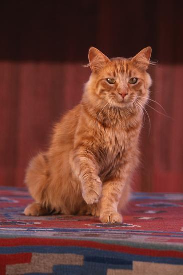 Yellow Cat Sitting on Rug-DLILLC-Photographic Print