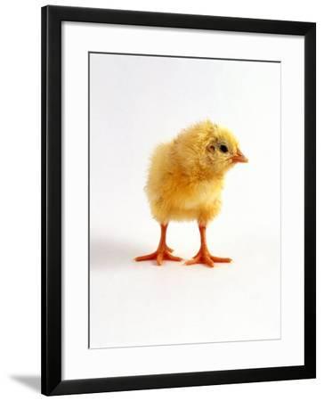 Yellow Chick-Jane Burton-Framed Photographic Print