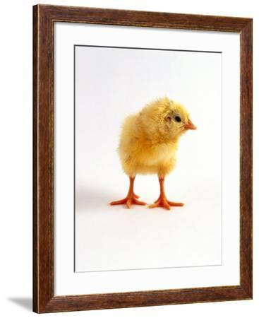 Yellow Chick-Jane Burton-Framed Photographic Print