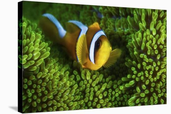 Yellow Clownfish On Green Anemon-Barathieu Gabriel-Stretched Canvas Print