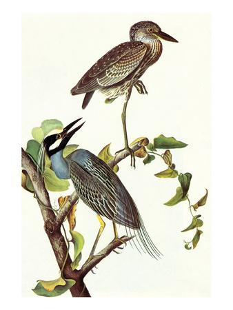 https://imgc.artprintimages.com/img/print/yellow-crowned-night-heron-and-little-blue-heron_u-l-pgf5ik0.jpg?p=0