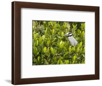 Yellow-Crowned Night Heron in a Mangrove Tree, Tampa Bay, Florida-Tim Laman-Framed Photographic Print