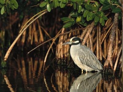 Yellow-Crowned Night Heron (Nyctanassa Violacea) Wading Among Mangrove Roots, Florida-Tom Vezo/Minden Pictures-Photographic Print