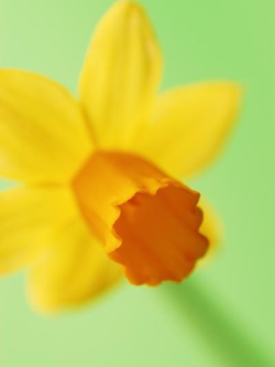 Yellow daffodil--Photographic Print
