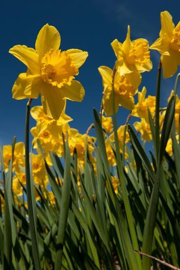 Yellow Daffodils in Front of a Blue Sky-Ivonnewierink-Photographic Print
