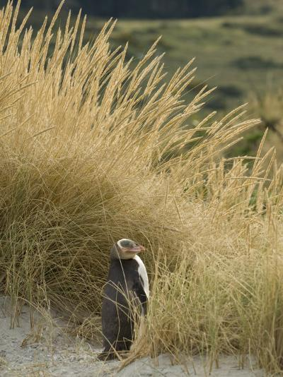 Yellow Eyed Penguin Resting in the Beach Grass-Bill Hatcher-Photographic Print