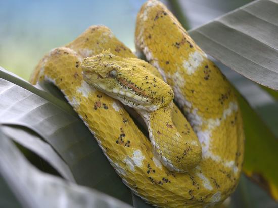 Yellow Eyelash Pit Viper Snake, Costa Rica-Tim Fitzharris-Photographic Print